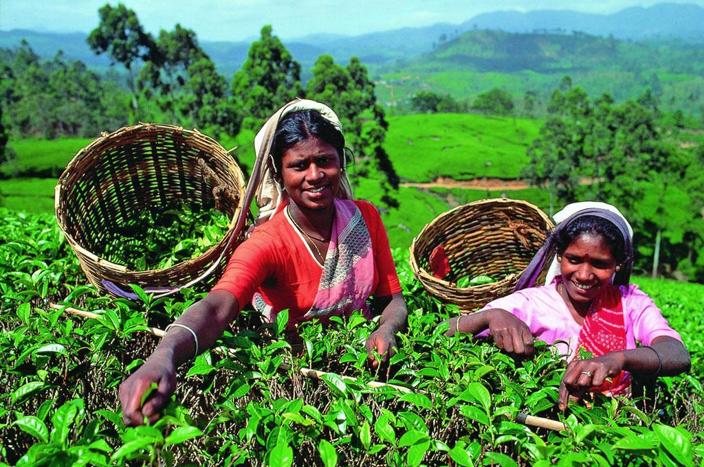 чайные-плантации