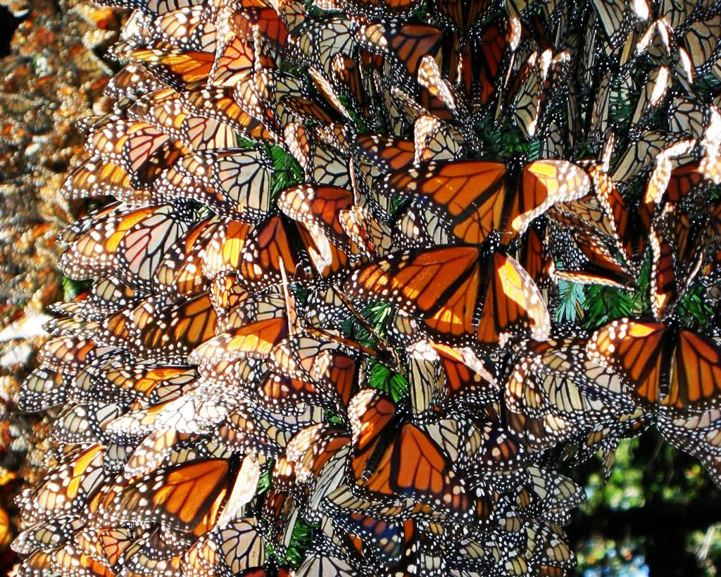 Бабочки, Мексика