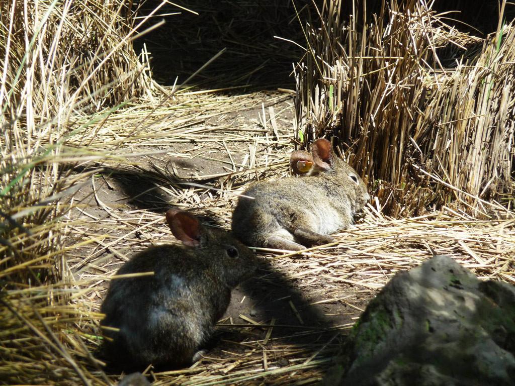 Бесхвостый (вулканический) кролик