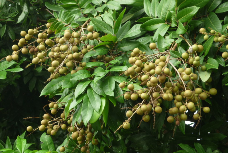 деревья вьетнама фото и названия